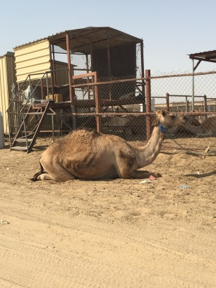 At the live animal meat markets - Camel meat and milk is consumed widely here!